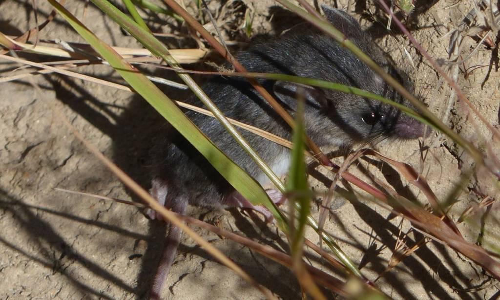 deer mouse cz trail crown zellerbach vernonia pittsburg oregon wilark trailhead