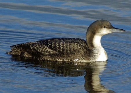 Pacific Loon breeding oregon columbia county