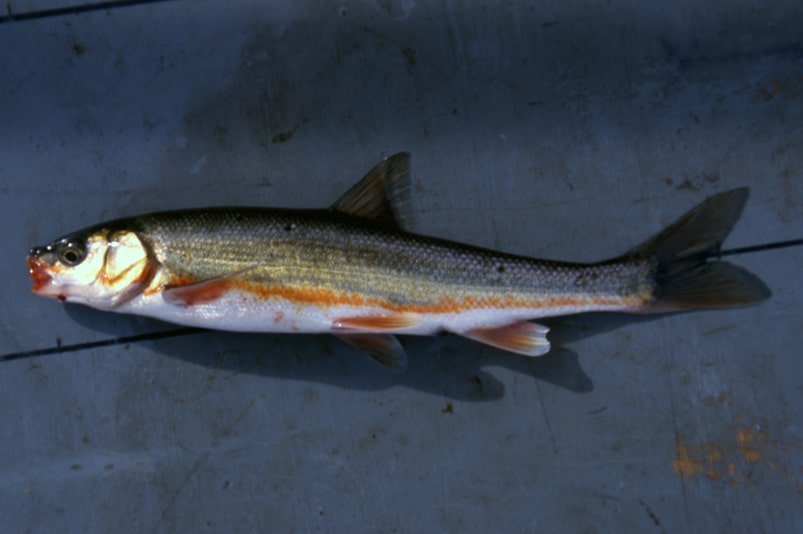 peamouth minnow chub northwest oregon columbia county