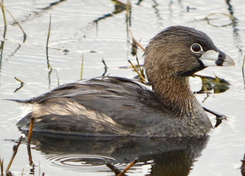 Pied-billed Grebe winter oregon columbia county