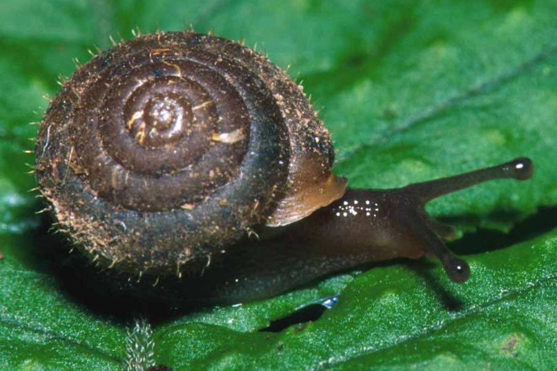 Pygmy Oregonian snail oregon columbia county