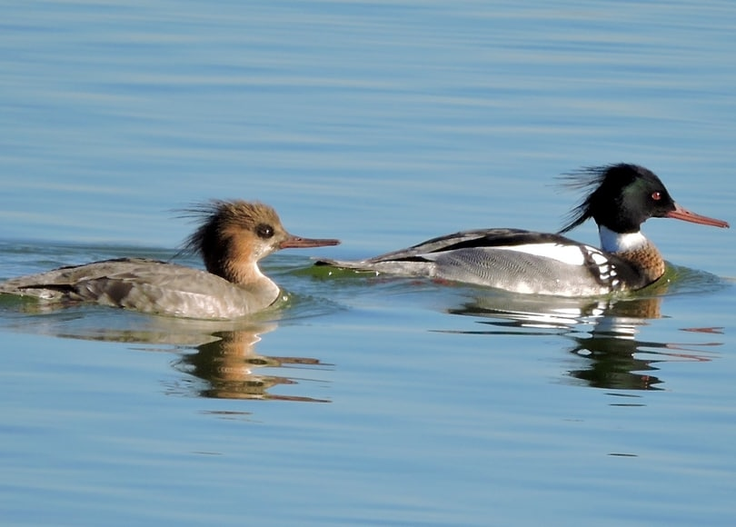 red-breasted merganser duck oregon columbia county