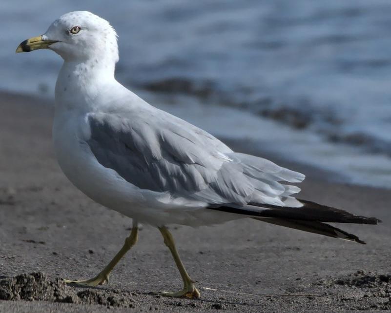 Ring-billed Gull breeding oregon columbia county