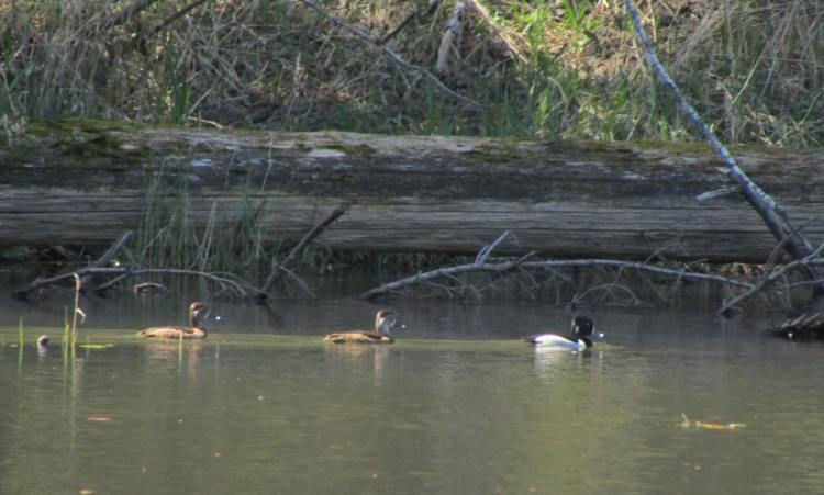 Ring-necked Duck Gunner's Lake columbia county oregon