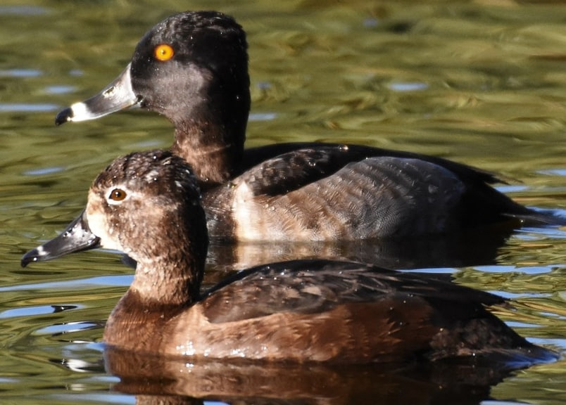 Ring-necked Duck oregon columbia county