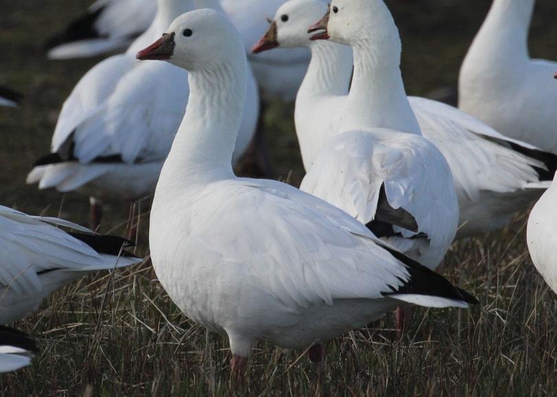 ross's goose oregon columbia county