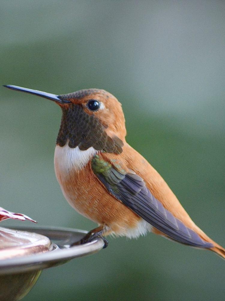 rufous hummingbirds of northwest oregon columbia county