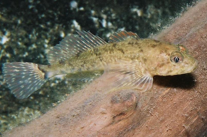 Shorthead Sculpin oregon clumbia county