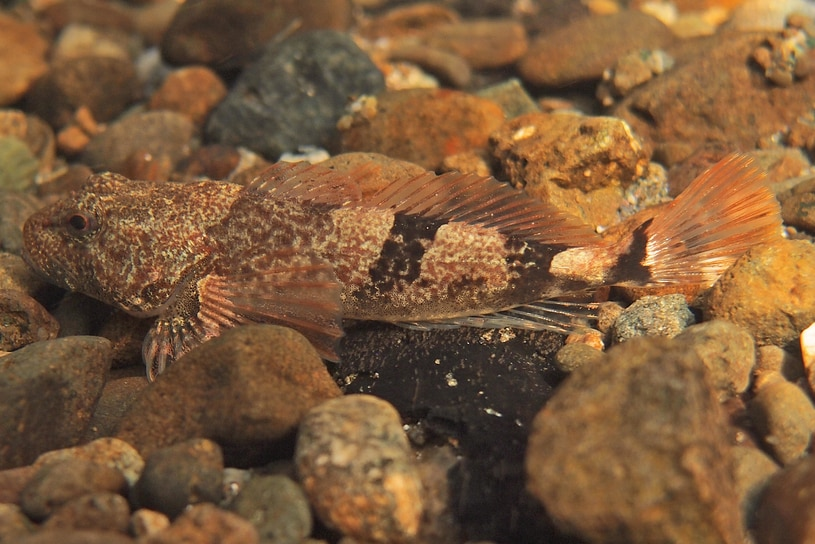 Torrent Sculpin oregon columbia county