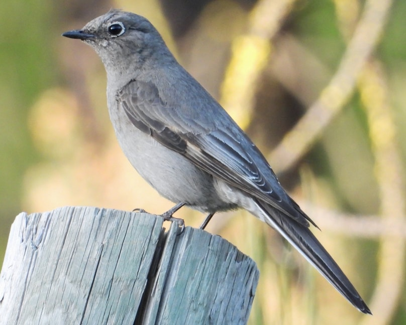 Townsend's Solitaire northwest oregon columbia county