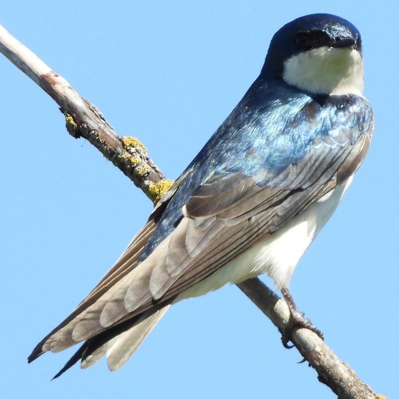 Tree Swallow northwest oregon columbia county