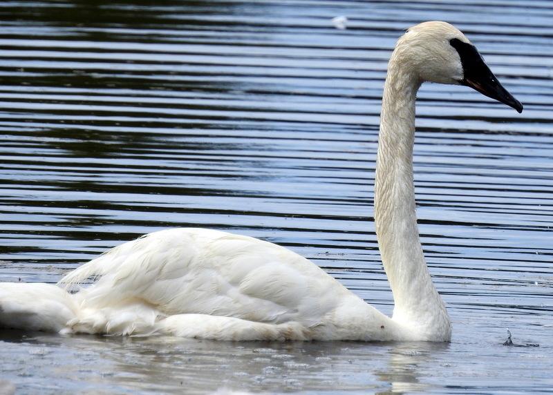 trumpeter swan oregon columbia county