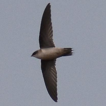 Vaux's Swift northwest oregon columbia county