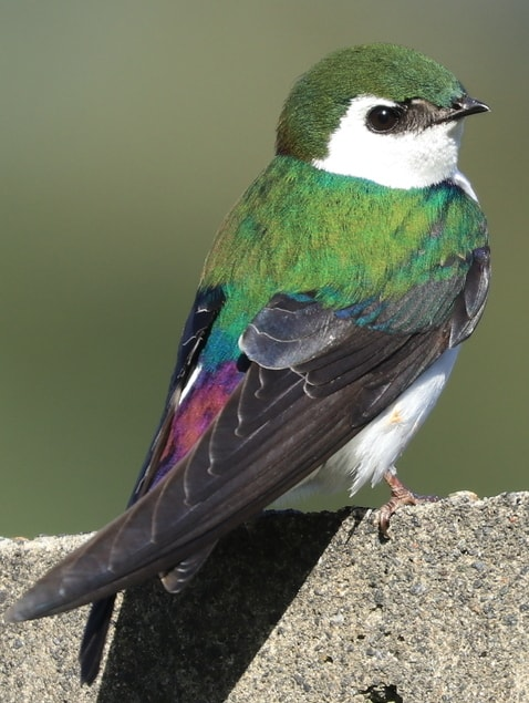 Violet-green Swallow swifts swallows of northwest oregon columbia county