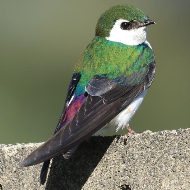 Violet-green Swallow northwest oregon columbia county