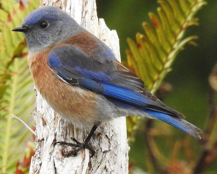 Western Bluebird northwest oregon columbia county