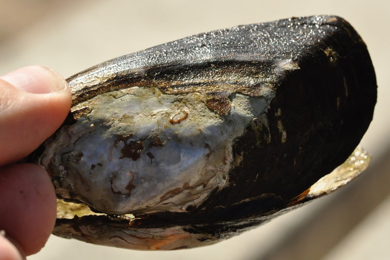 Western Ridged Mussel Oregon columbia county