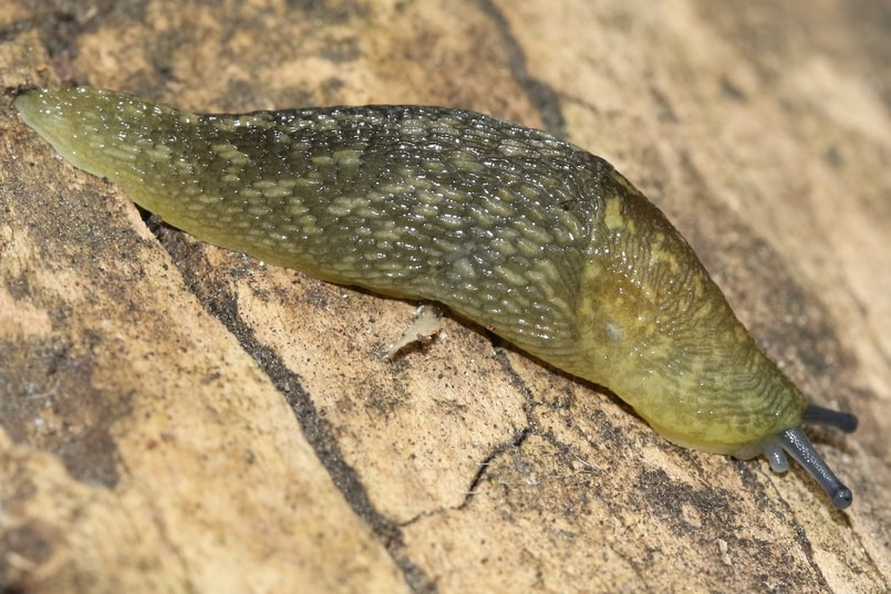 Yellow Cellar Slug oregon columbia county