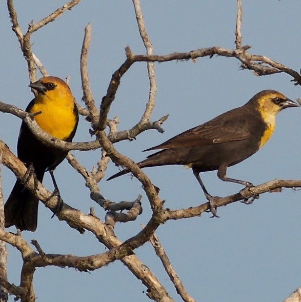 Yellow-headed Blackbird  male female northwest oregon columbia county