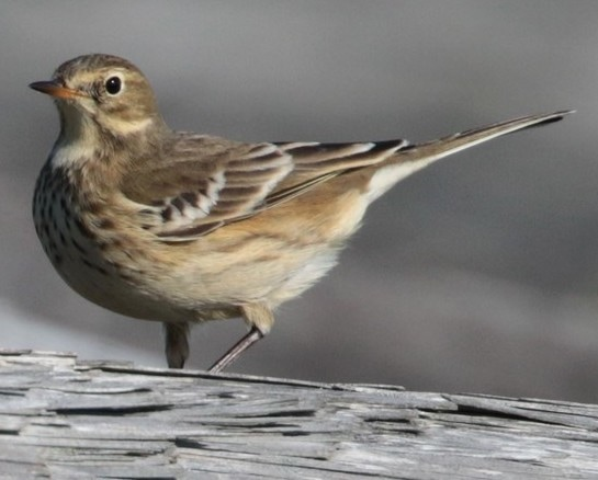 American Pipit northwest oregon columbia county
