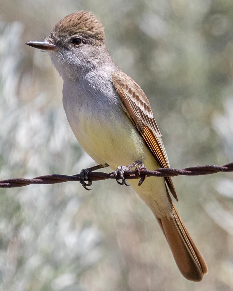 Ash-throated Flycatcher northwest oregon columbia county