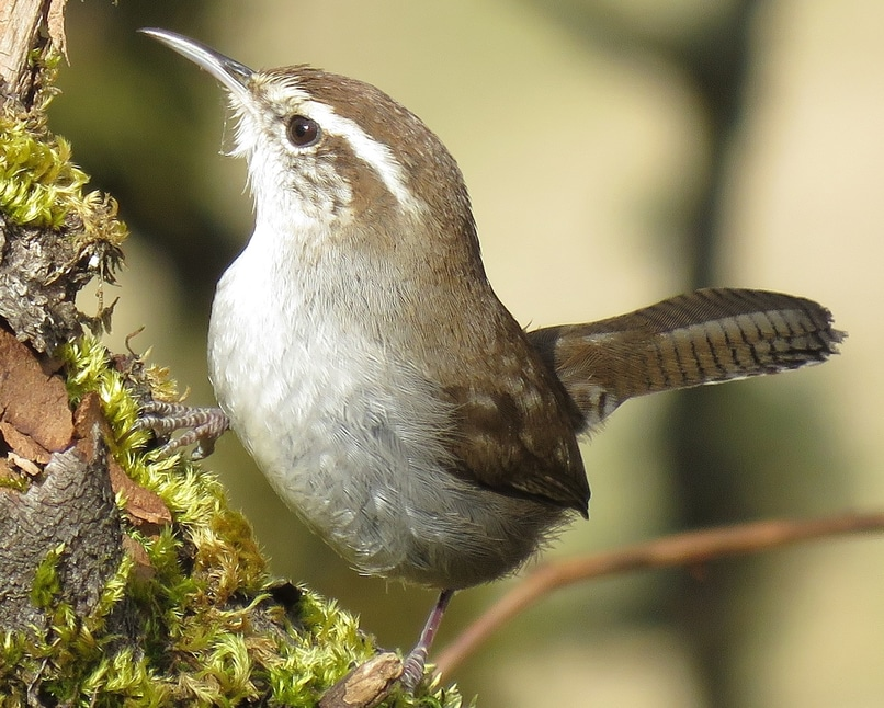 Bewick's Wren northwest oregon columbia county