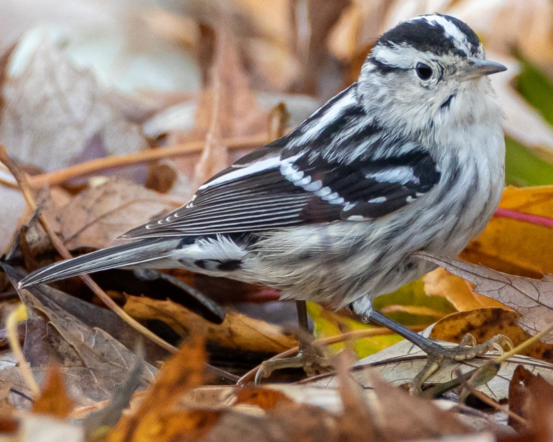 Black-and-white Warbler northwest oregon columbia county