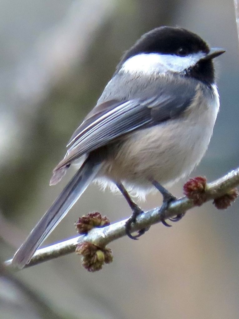 Black-capped Chickadees bushtits nuthatches creepers of northwest oregon columbia county