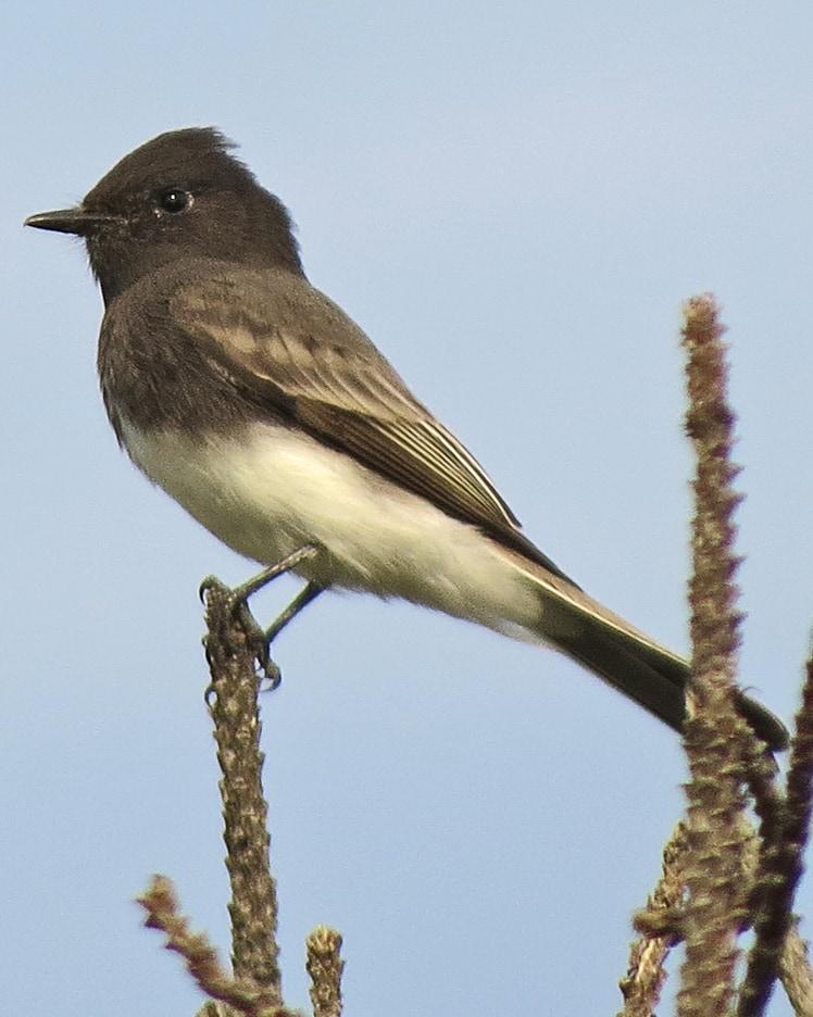 Black Phoebe Flycatcher northwest oregon columbia county