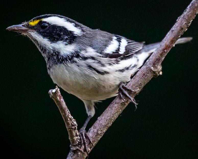 Black-throated Gray Warbler northwest oregon columbia county