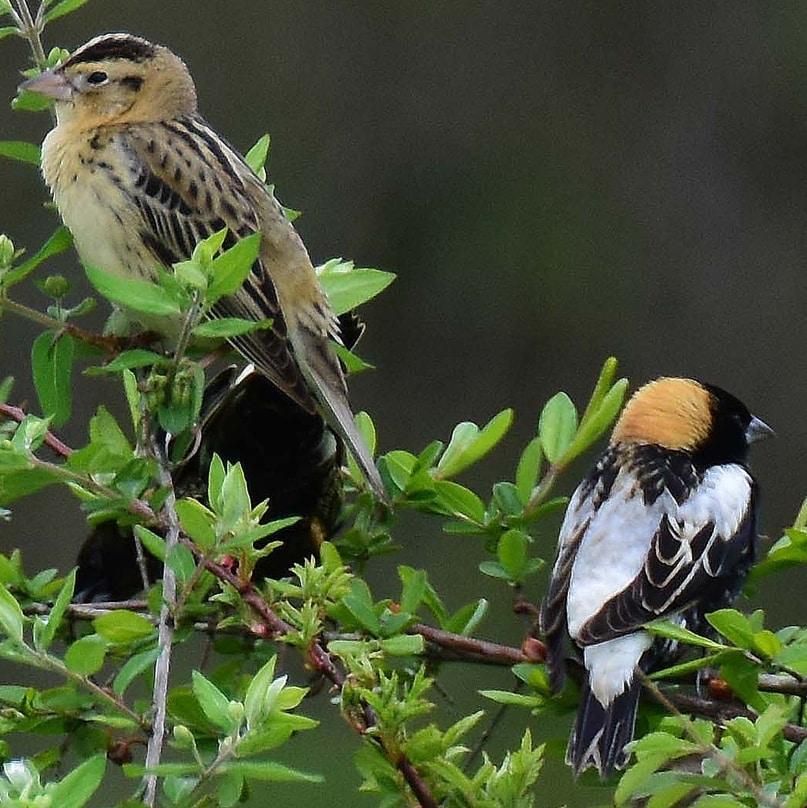 Bobolink blackbird columbia county oregon