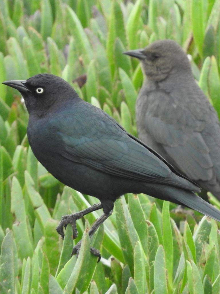 Brewer's Blackbirds orioles meadowlarks larks of northwest oregon columbia county