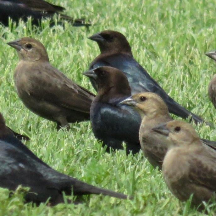 Brown-headed Cowbird male female northwest oregon columbia county