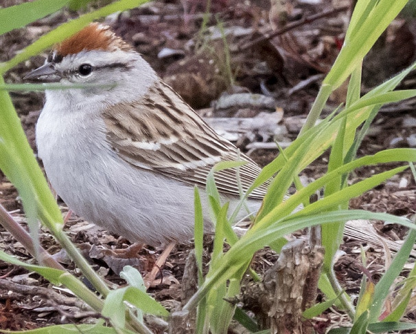 Chipping Sparrow northwest oregon columbia county