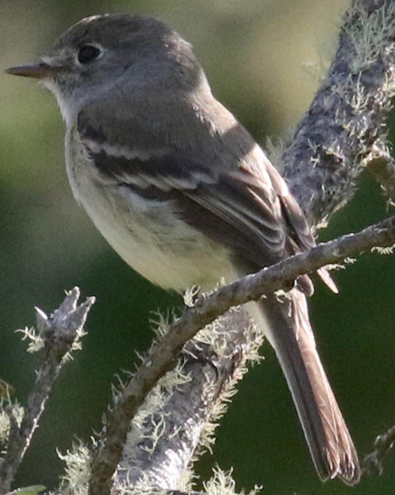 Dusky Flycatcher northwest oregon columbia county
