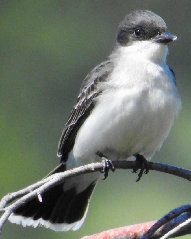 Eastern Kingbird Flycatcher northwest oregon columbia county