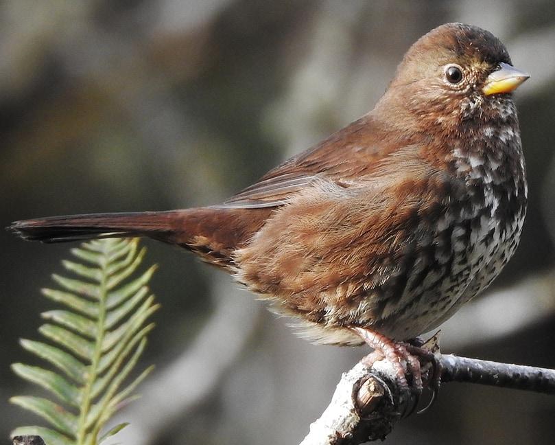 Fox Sparrow northwest oregon columbia county