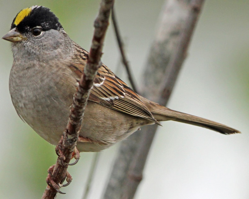 Golden-crowned Sparrow northwest oregon columbia county