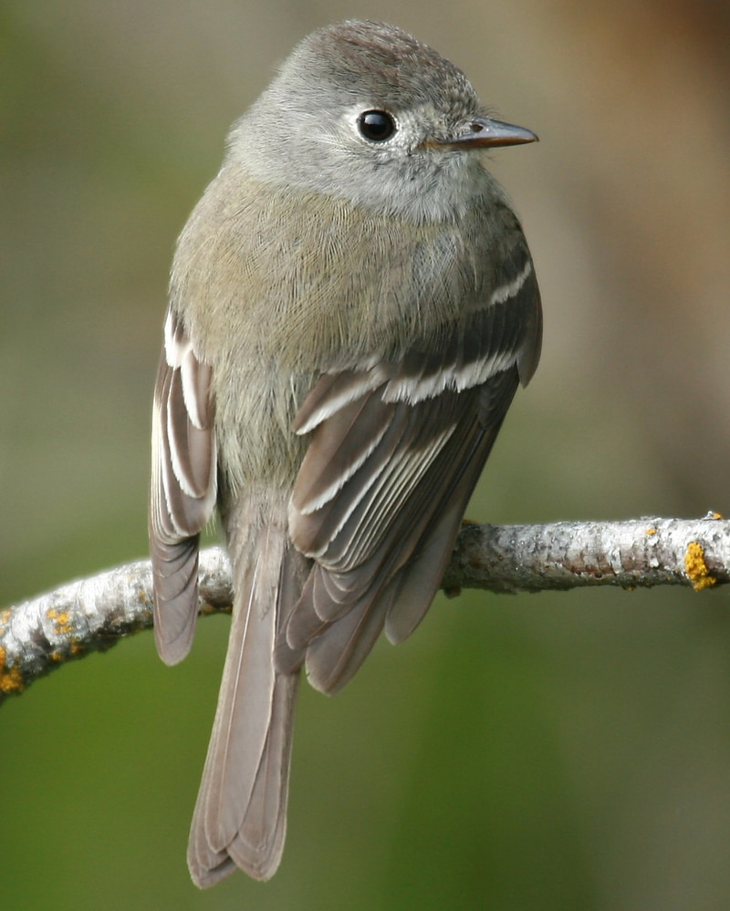 Hammond's Flycatcher northwest oregon columbia county