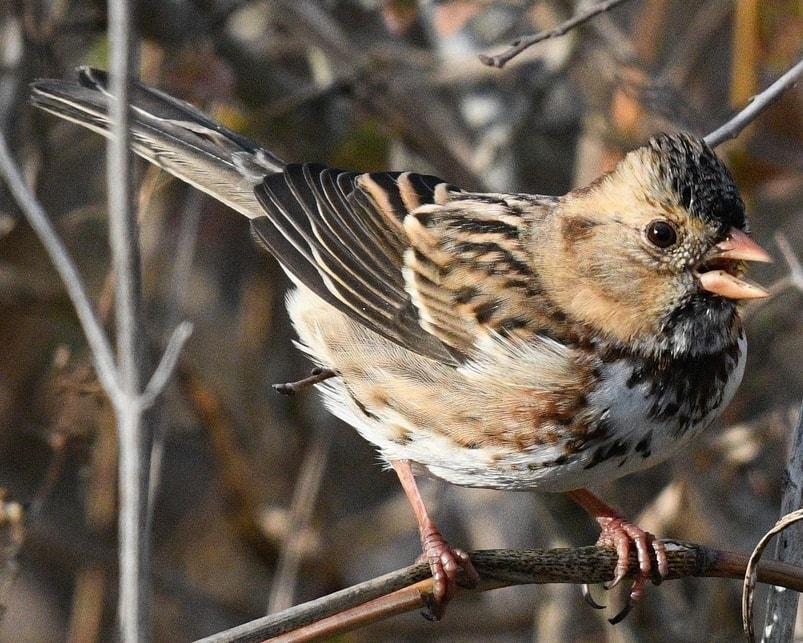 Harris's Sparrow northwest oregon columbia county