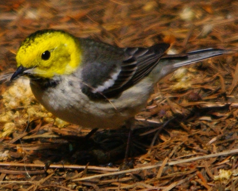 Hermit Warbler northwest oregon columbia county