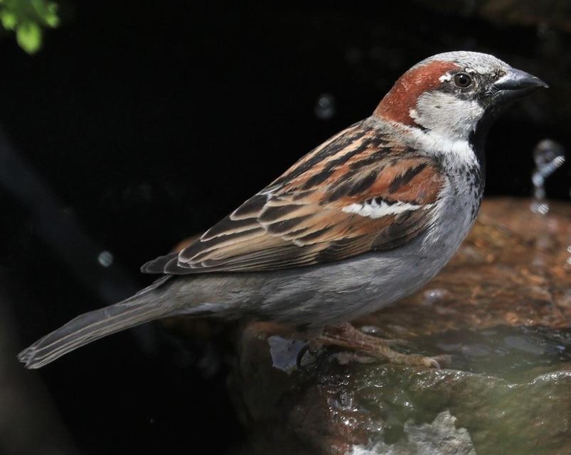 English House Sparrow european invasive northwest oregon columbia county