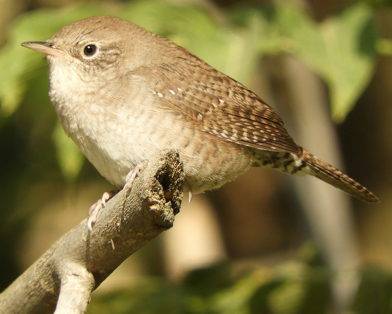 House Wren northwest oregon columbia county