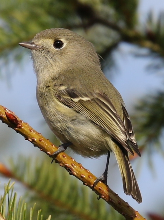 Hutton's Vireos kinglets of northwest oregon columbia county