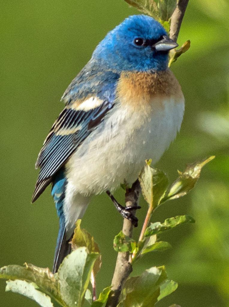 Lazuli buntings tanagers grosbeaks of northwest oregon columbia county