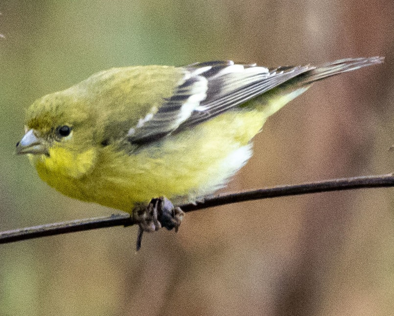 Lesser Goldfinch female northwest oregon columbia county