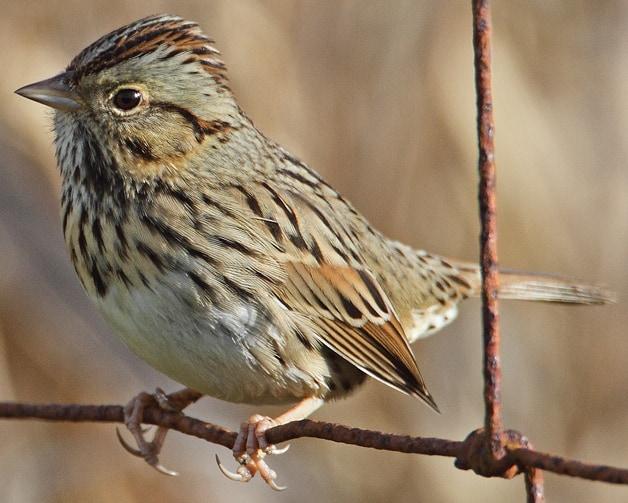 Lincoln's Sparrow northwest oregon columbia county