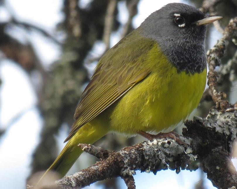 McGillivray's Warbler northwest oregon columbia county