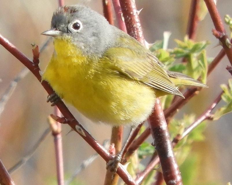 Nashville Warbler northwest oregon columbia county