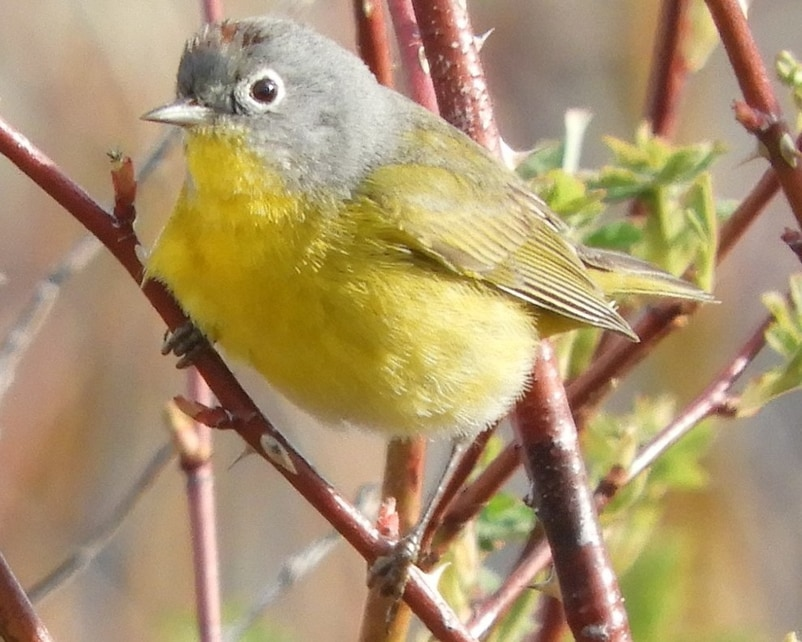 Nashville Warbler northwest oregon columbia county